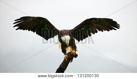 Bald eagle with outstretched wings in a falconry show