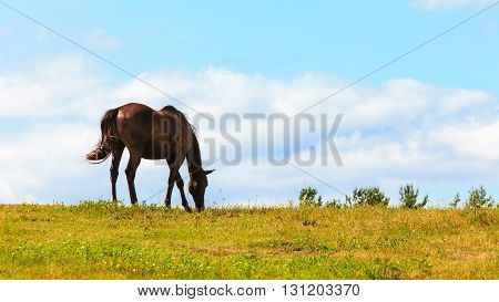 Majestic Graceful Brown Horse In Meadow.