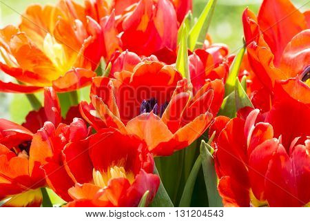 Close Up Of Some Red Tulips In Spring
