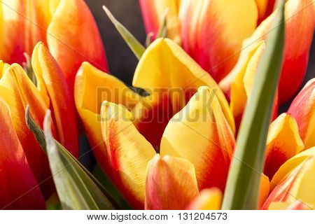 Macro Of Some Red And Yellow Tulips In Spring