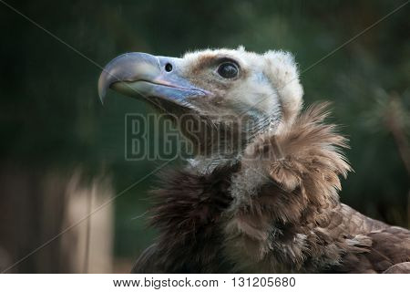 Cinereous vulture (Aegypius monachus), also known as the the Eurasian black vulture or monk vulture. Wildlife animal.