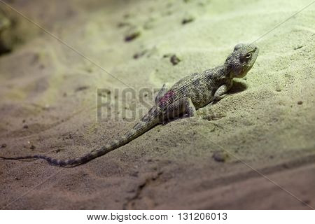 Steppe agama (Trapelus sanguinolentus). Wildlife animal.