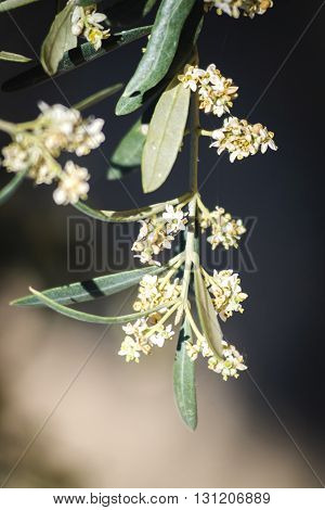 Detail of a branch of olive tree in flowering during spring Andalusia Spain