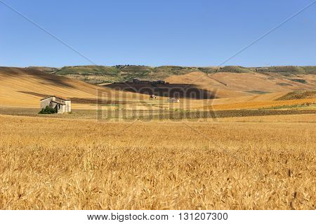 SUMMER:RURAL LANDSCAPE.Between Puglia and Basilicata:hills with cornfields and farmhouses.ITALY
