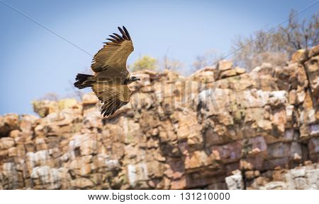 Vulture Flying In Canyon