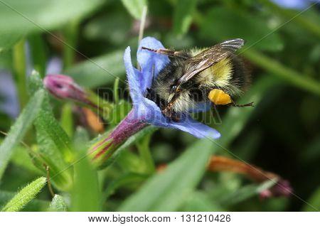 A Bumblebee feeding on a Lithadora flower