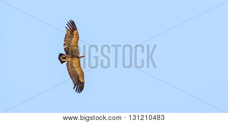 Vulture Flying Overhead