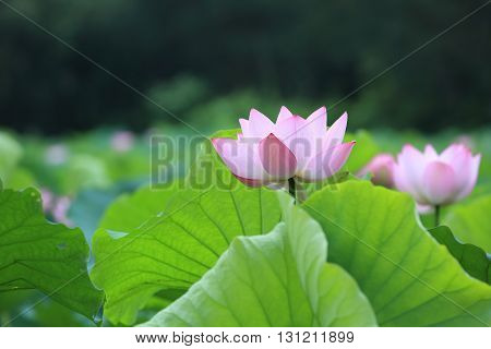 beautiful pink lotus flower blooming in pond