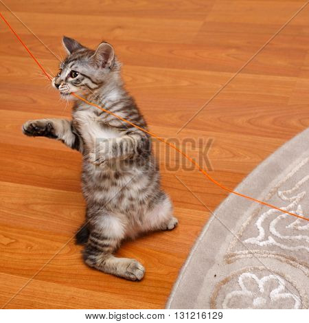 Kuril Bobtail kitten stands on its hind legs. Thoroughbred cat. Cute and funny kitten. Pet.