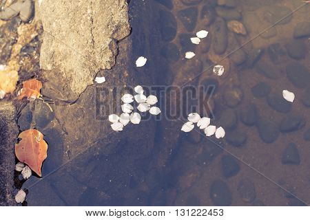 fallen blossom cherry petals in water of Japanese pond