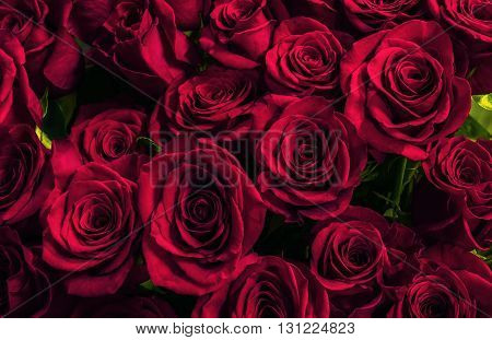 Natural scarlet roses background. greeting card with a luxury roses
