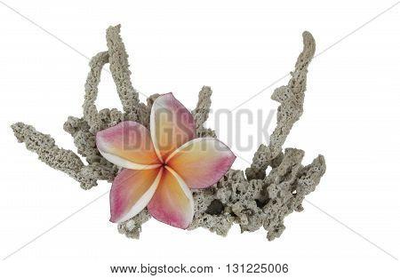 Plumeria on Dried Sea sponge Isolate on White background.