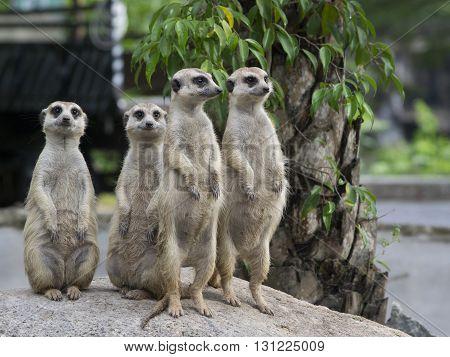 Meerkat family to Crime watch ฟสส around