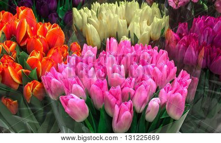 Tulip. Color tulips bouquet of tulips tulips in bouquet.