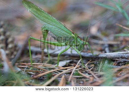 The female green grasshopper lays her eggs in the earth.