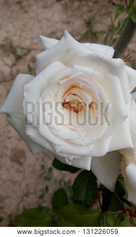 amazing natural withe rose grow in garden