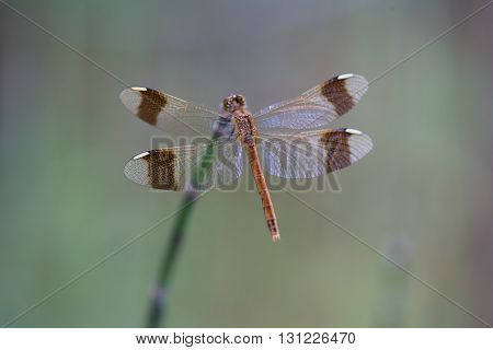 Dragonfly sits on the stem of horsetail.
