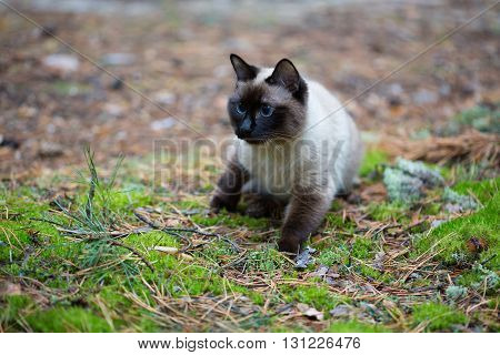 Siamese cat walking in the pine tree forest.