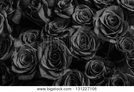 Natura roses background. greeting card with a luxury roses.