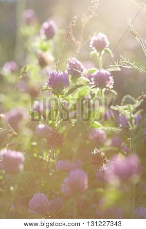 Flowers of clover in the rays of the setting sun