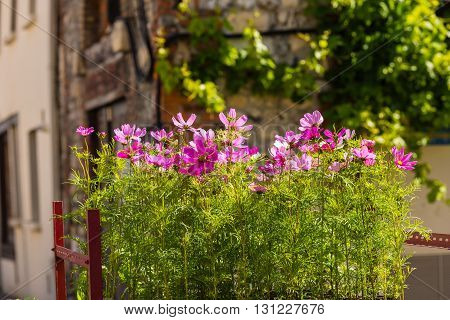 Blooming cosmos flowers on a town street background