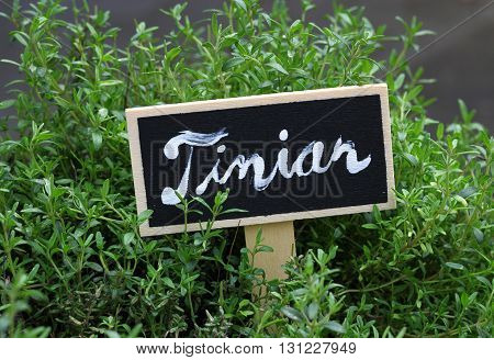 green timian - thyme - with a sign