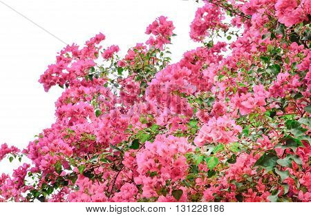 Pink bougainvillea flowering in spring on white background