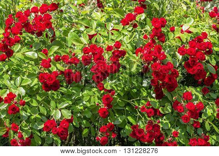 Natural red rosebush background in sunny day