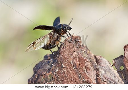 Beetle is preparing to take off from a tree