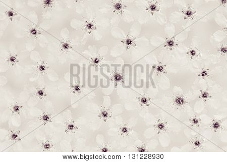 White small flowers on the water. Top. Black and white sepia. Floral pattern. Wedding spring background. Macro. Bird-cherry.