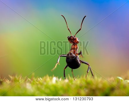 Ant shoots formic acid in the stomach, the ant defense, wood ant