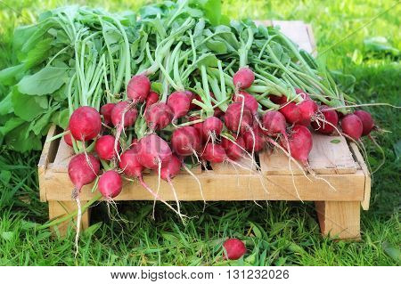 Fresh radishes with tops on the box lies on a grass background. Work in the garden harvesting.