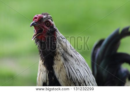 A rooster guards the general area where his hens are nesting,