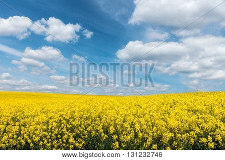 Yellow Flowering Rapeseed Field And Blue Sky With White Clouds