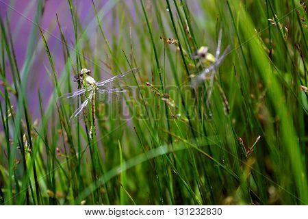 These are beautifull dragonflies. They are on the grass.