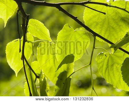 Leaves of Common Lime Tilia Europeaea tree in morning sunlight selective focus shallow DOF
