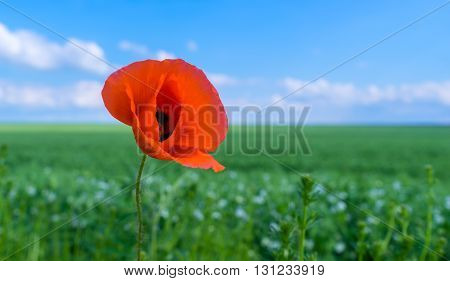 close up of wild poppies against blue sky