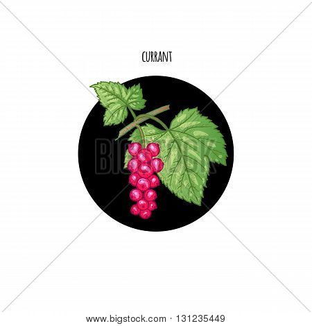 Vector illustration of red currant berries in a black circle on a white background. Design of packaging food products cosmetics shampoos health supplements.