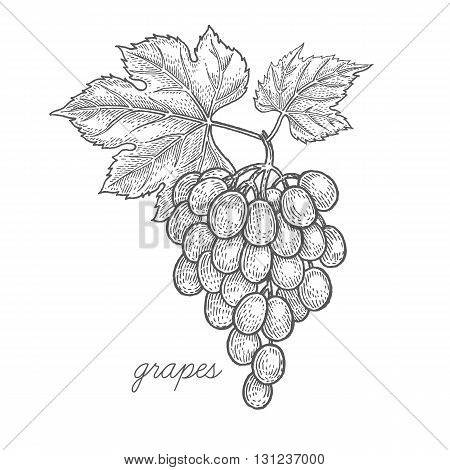 Grapes. Vector plant isolated on white background. The concept of graphic image of medical plants herbs flowers fruits roots. Designed to create package of health and beauty natural products.