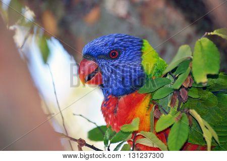Colourful Australian rainbow lorikeet parrot feeding in a tree