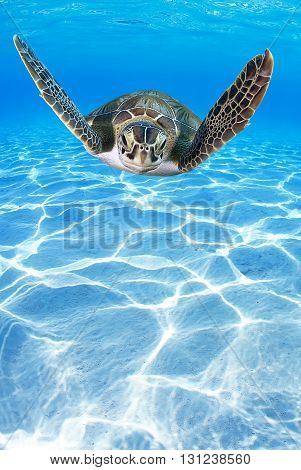 Tropical Sea turtle (Eretmochelys imbricata) swimming in the depth