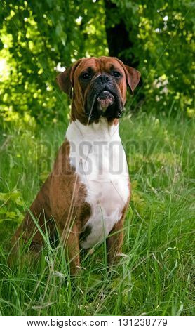 dog of breed the boxer, brown color, green young grass, trees on a background,