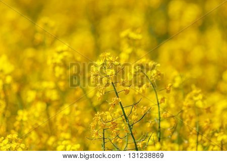 Flowering oilseed rapeseed, yellow field as background