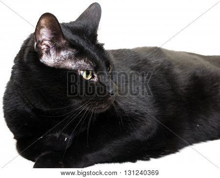 closeup of entire black cat laid down over white background, looking to the right side