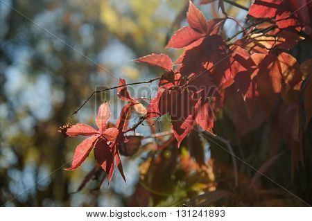 Vitaceae family red plant Parthenocissus quinquefolia vine yellow red leaves abstract on blurred background. Plant called Virginia creeper five leaved ivy or five finger.