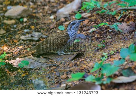 Banded Bay Cuckoo In Nature