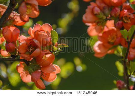 Splendidly flourishing red cotoneaster in deep sun