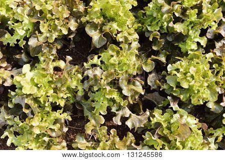 Growth of Oak Leaf lettuce in field.