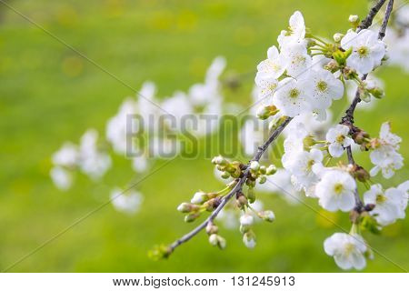 Absolutely wonderful and angelic blooming white cherry