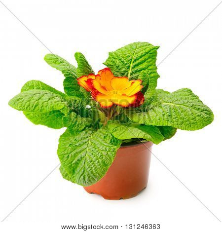 Yellow primrose in flowerpot isolated on white background